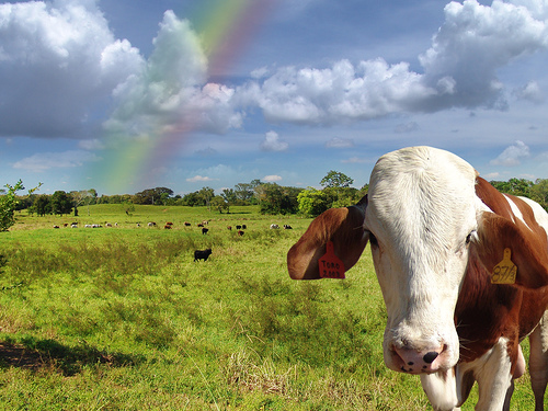 rainbow cow