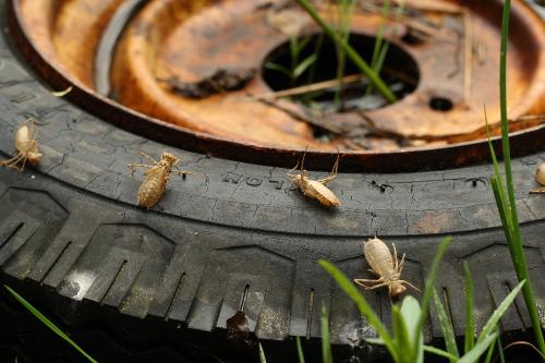 dragonfly larva skins