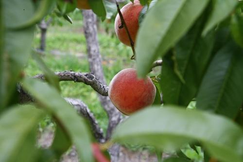 ripe_peach